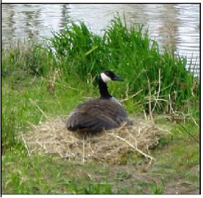 Photo 18 Female goose on nest