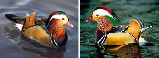 Photo 2 mandarin ducks