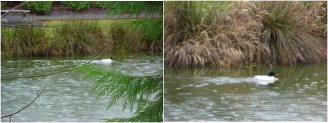 Photo 4 white duck